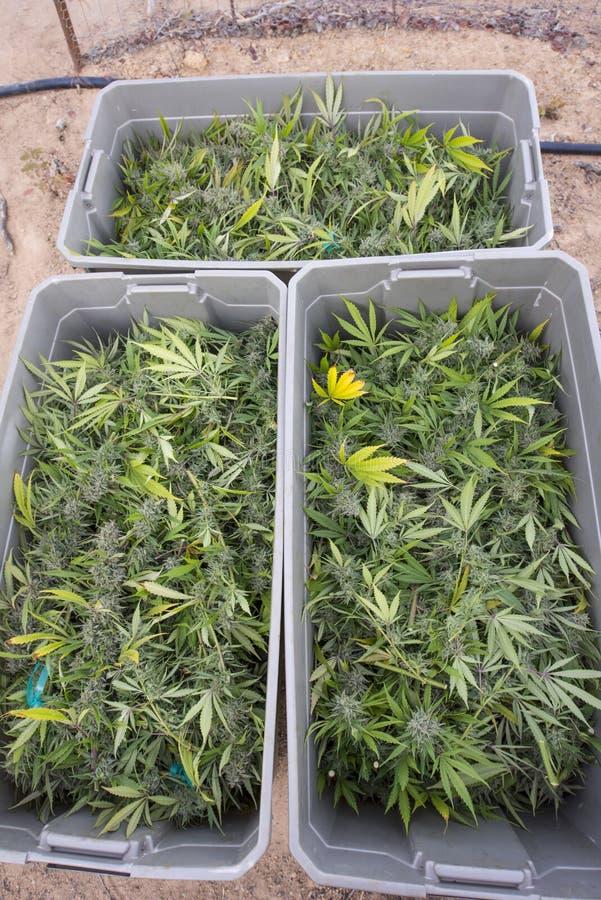 Free Harvested And Boxed Marijuana Plants Royalty Free Stock Photos - 58495518