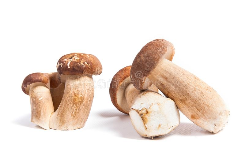 Several porcini mushrooms known as boletus edulis isolated on white background. Harvested at autumn amazing edible mushrooms boletus edulis king bolete known as stock photography