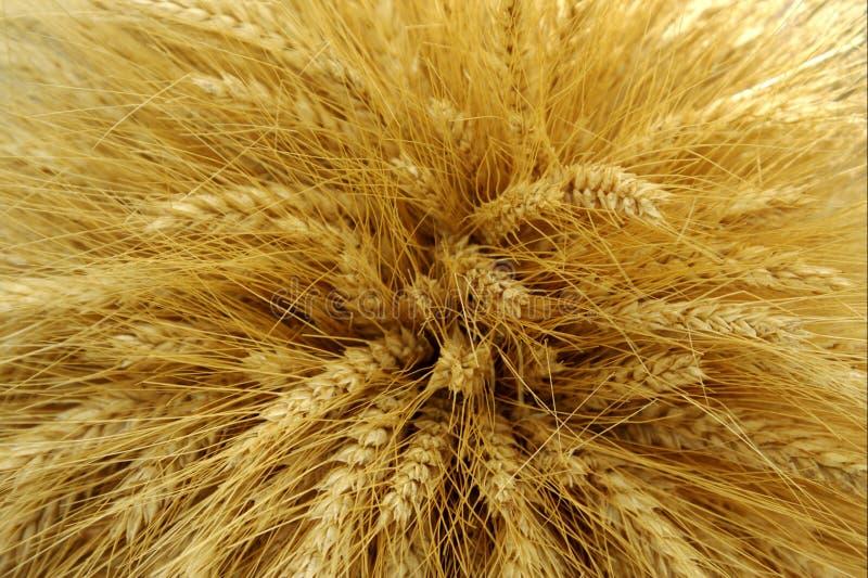 Harvested barley stock image