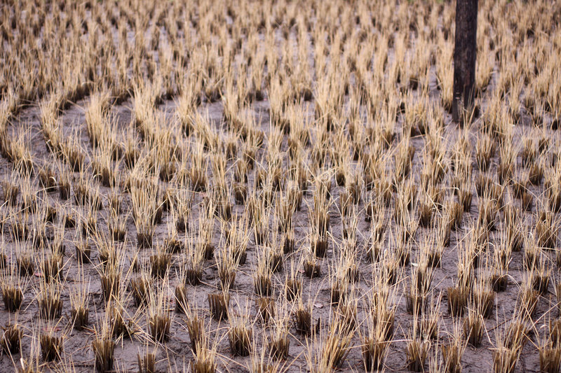 Download Harvested Circular Rice Patty In Japan Stock Images - Image: 9337754