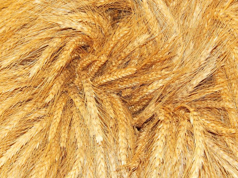 Harvested crop. Ears of wheat in a bunch royalty free stock image