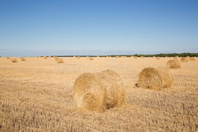 Harvested field with straw bales. Round haystacks are scattered across the field. Dry grass and golden rolls of hay stock images
