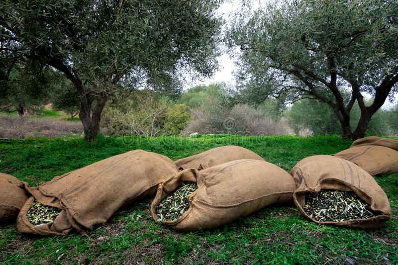 Harvested fresh olives in sacks in a field in Crete, Greece. stock photo