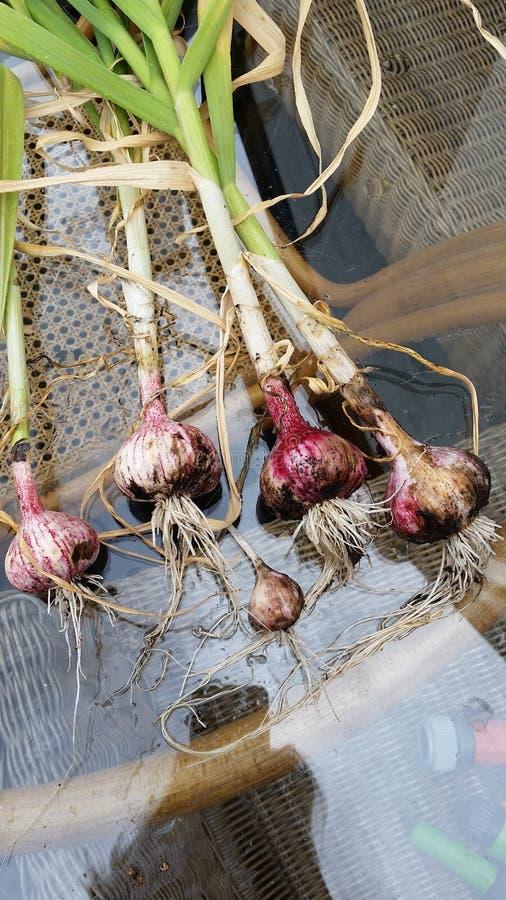 Harvested garlic bulbs stock photography