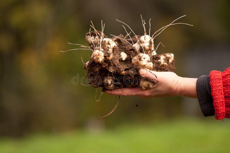 Download Harvested Jerusalem Artichoke Plants Stock Photo - Image of uncooked, background: 23099578