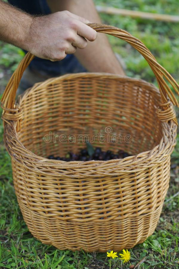 Harvested Olives In A Basket Royalty Free Stock Image