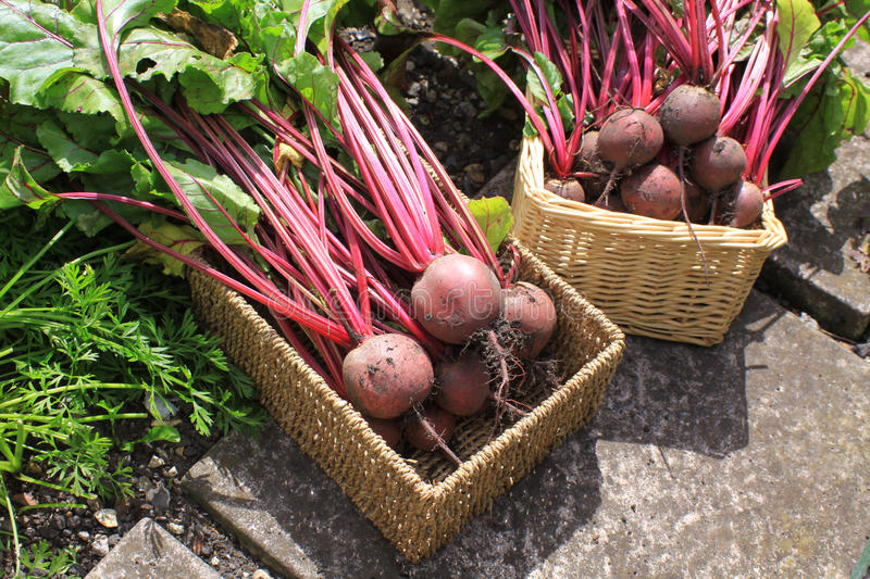 Harvested Oranic Beetroot royalty free stock photo