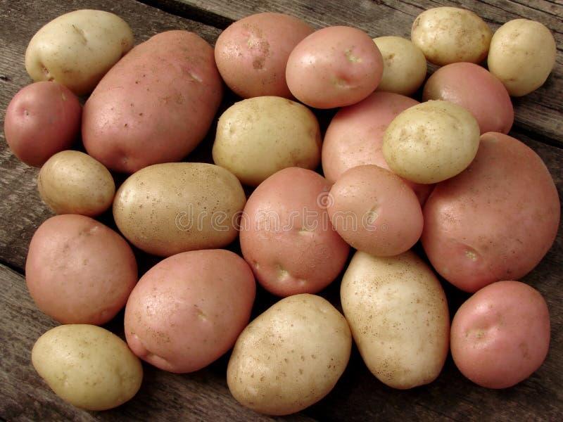 Harvested potato tubers stock photos