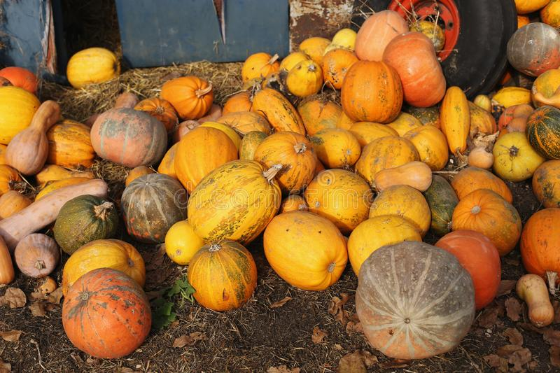 Harvested pumpkins lie on the ground. Rich harvest for halloween royalty free stock image