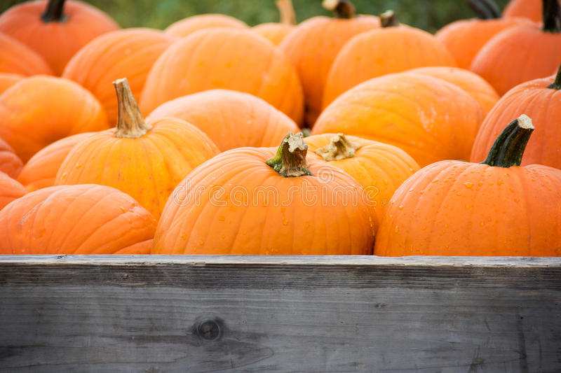 Harvested pumpkins. Wagon full of harvested pumpkins stock images