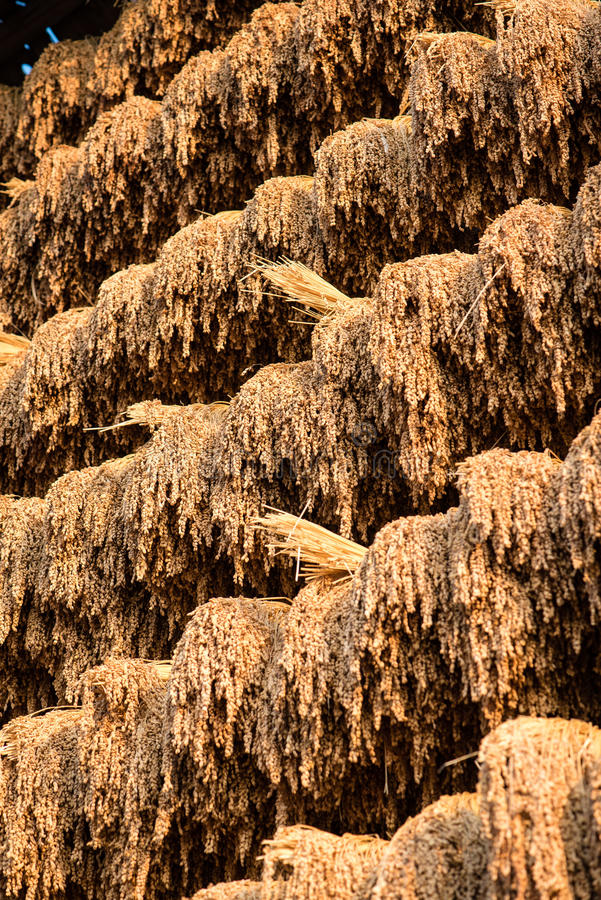 Harvested rice hung to dry in the sun. In a Chinese Miao minority village stock image