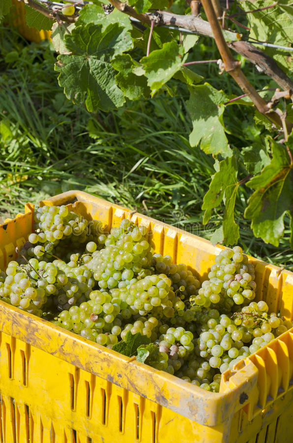Download Harvested Riesling Wine Wine Grapes #1 Stock Image - Image: 26627815
