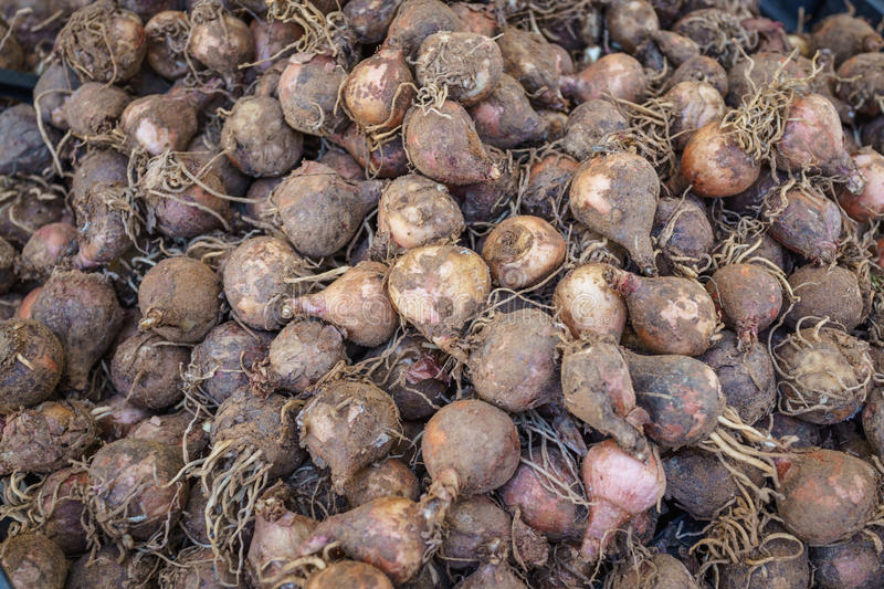 Harvested ripe beet root vegetable in Italian vagetarian market.  stock photography