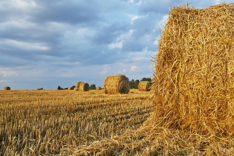 Harvested rye field. With cylindrical bales of hay on it under evening sunny sky. Agriculture concept royalty free stock photos