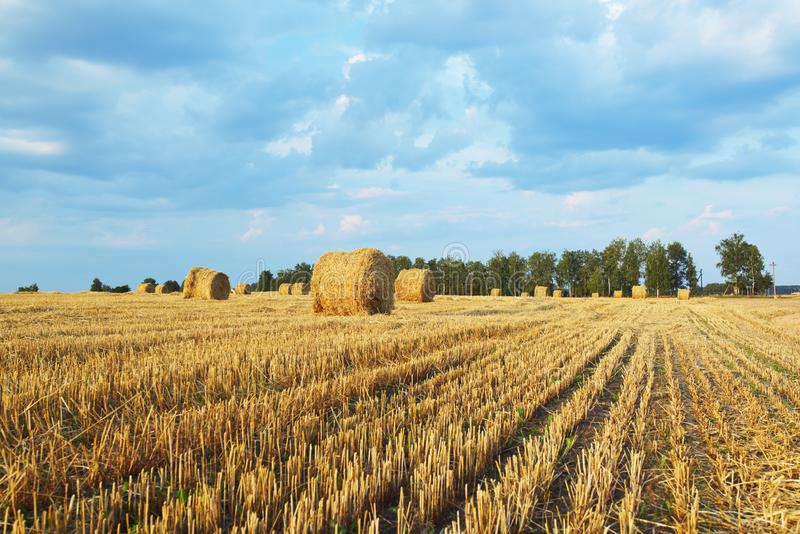 Harvested rye field. With cylindrical bales of hay on it under sunny sky. Agriculture concept royalty free stock photo