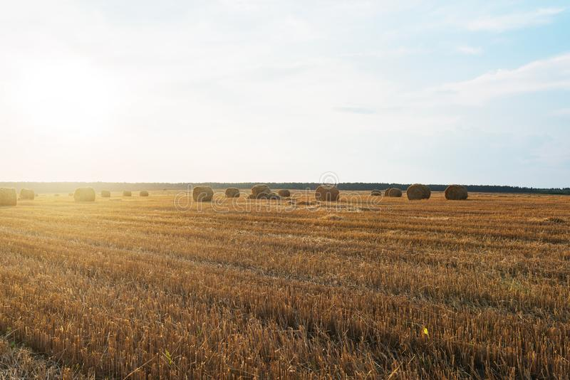 Harvested rye field. With cylindrical bales of hay on it under evening sunny sky. Agriculture concept royalty free stock photo
