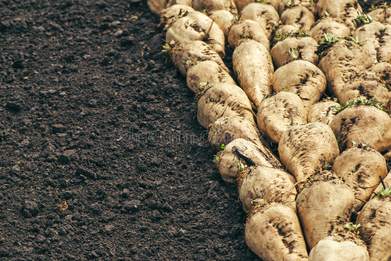Harvested sugar beet crop root pile royalty free stock photo