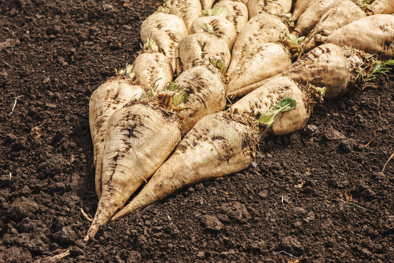 Harvested sugar beet crop root pile stock photos