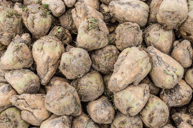Harvested sugar beets from close. Closeup of a heap of recently harvested sugar beets on a sunny day in the fall season royalty free stock photos