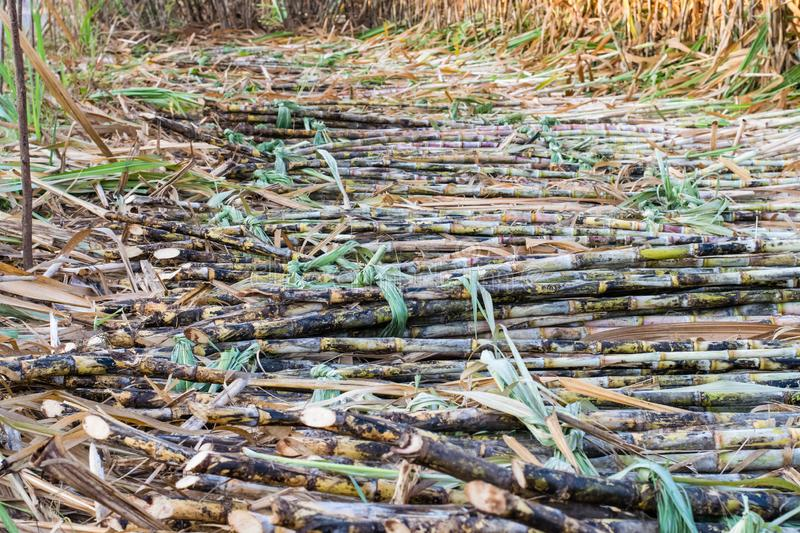 Harvested sugarcane fields royalty free stock photos
