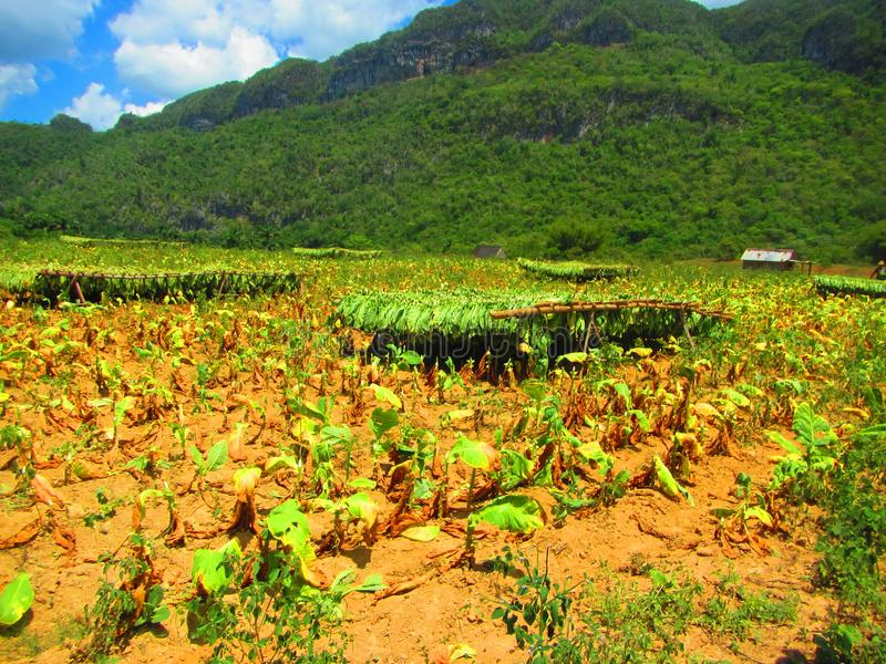 Harvested tobacco plants hanging up to dry in a field royalty free stock photos