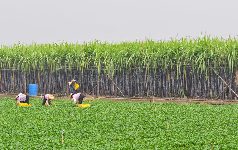 Harvesting. Women harvesting vegetable at field,guangzhou city,china pic on nov 16,2011 stock photos