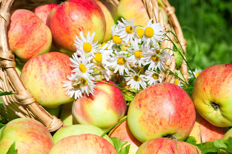 Harvesting of apples in the autumn stock images