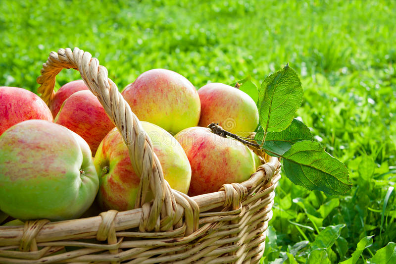 Harvesting of apples in the autumn royalty free stock photos