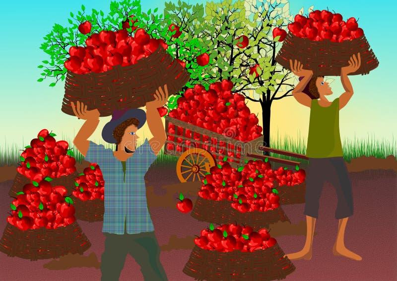 Harvesting apples. Harvesting time in apple farm