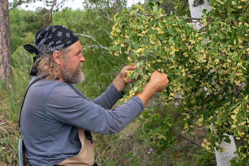 Harvesting, a bearded male farmer takes, cuts off linden inflorescences. Linden flowers medicinal plant for colds royalty free stock photography