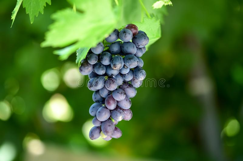Harvesting of berries. Summer day. Bunches of grapes on the vineyard. stock images