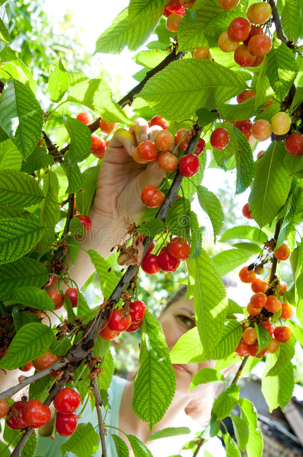 Free Harvesting Bio Cherries Stock Image - 55105691