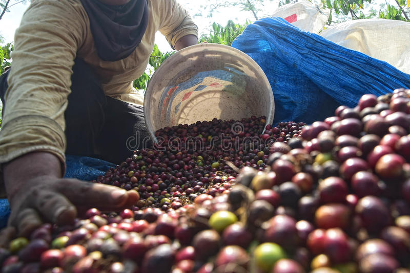 Harvesting COFFEE IN INDONESIA. Workers harvest of robusta coffee plantation PTPN Region Bawen, Semarang regency, Central Java, Thursday, August 27, 2015, a stock photo