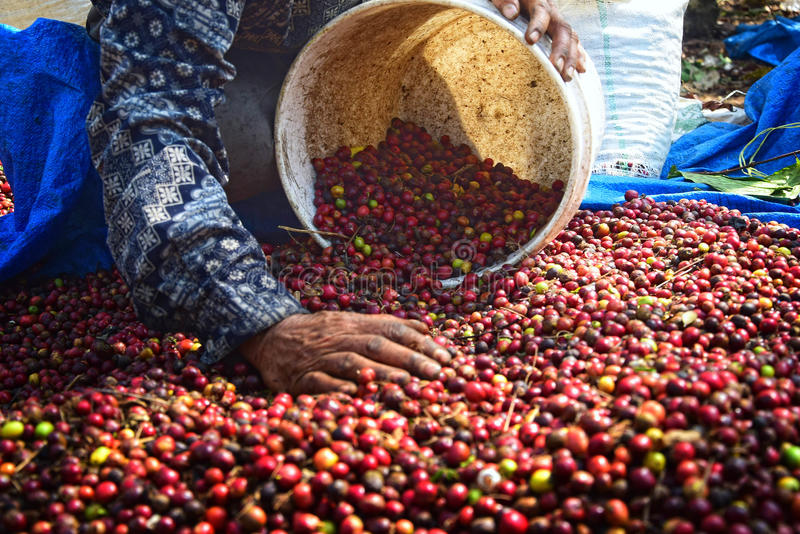 Harvesting COFFEE IN INDONESIA. Workers harvest of robusta coffee plantation PTPN Region Bawen, Semarang regency, Central Java, Thursday, August 27, 2015, a royalty free stock photography