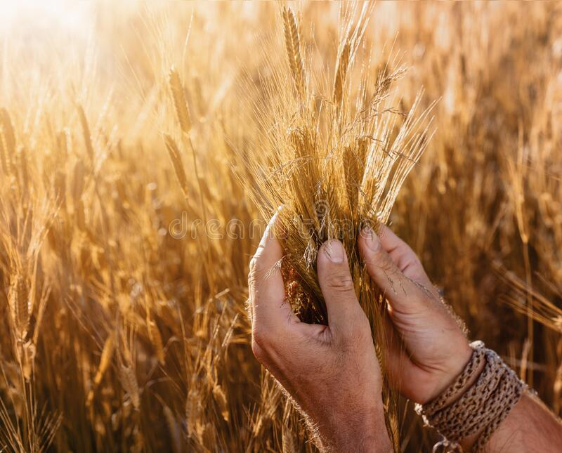 Close up of farmers hands checking the quality of the wheat royalty free stock photo