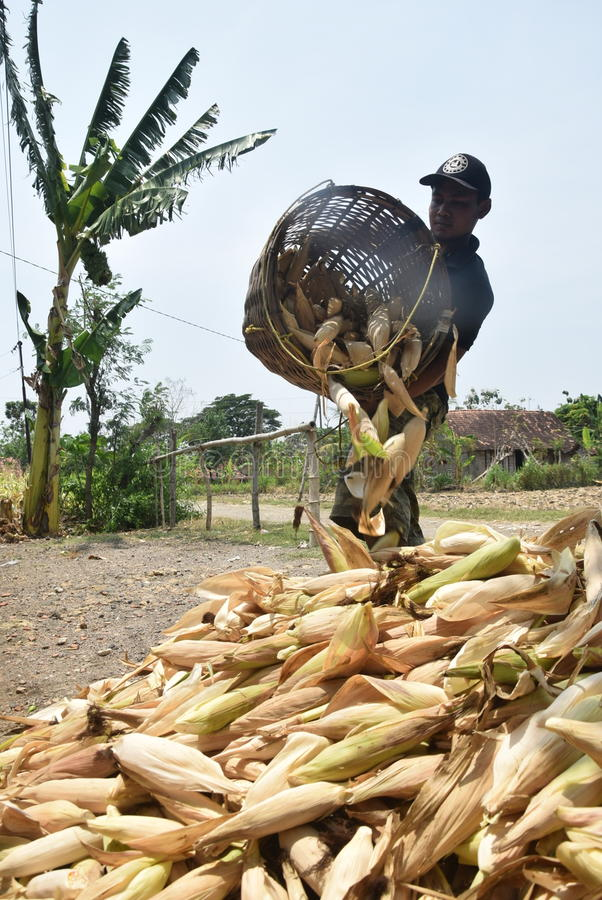 Harvesting corn. Farmers harvest the crops of maize activities in the village Doplang, District Jati , Blora, Central Java, Indonesia, September 30, 2015 royalty free stock photography