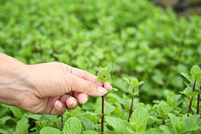Harvesting fresh vegetables in organic garden. Fresh vegetables from organic garden in farmers hand. Hands are harvesting stock images