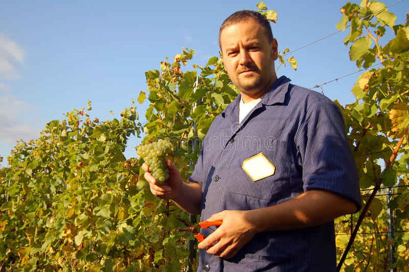 Harvesting grape stock photography