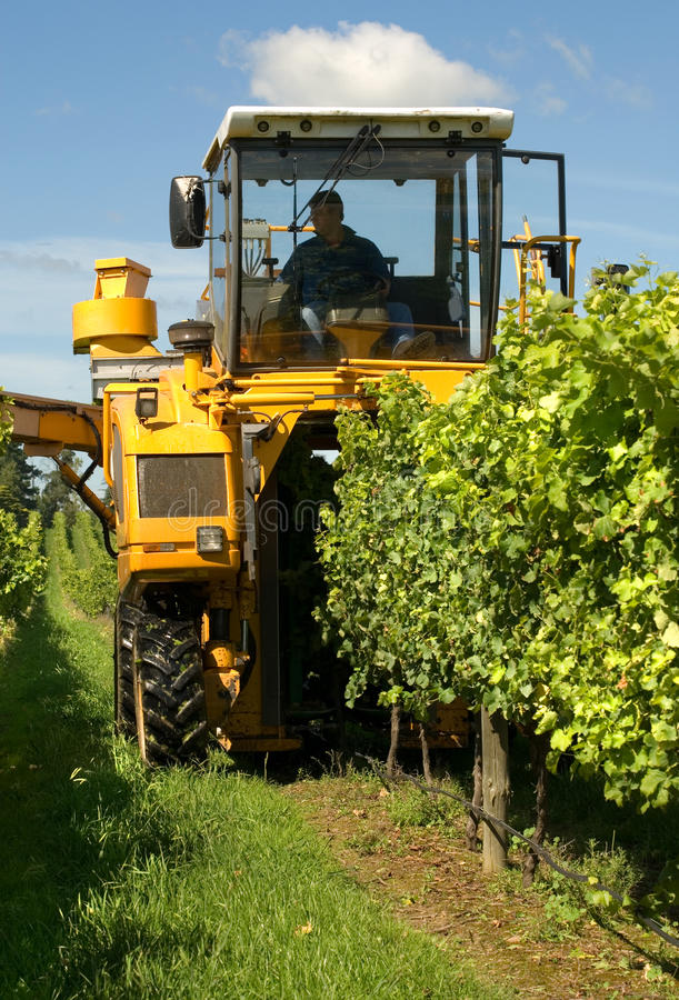 Harvesting Grapes royalty free stock photos
