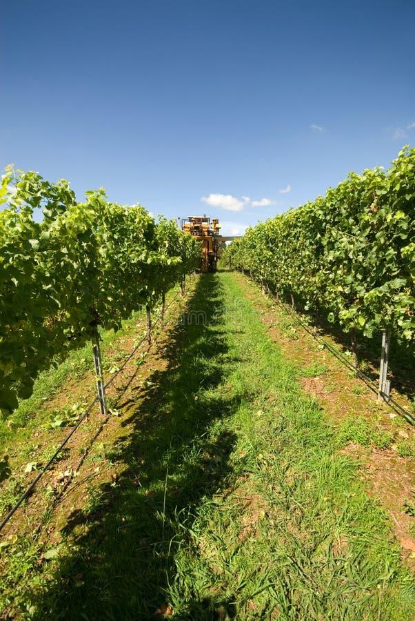 Harvesting Grapes stock image