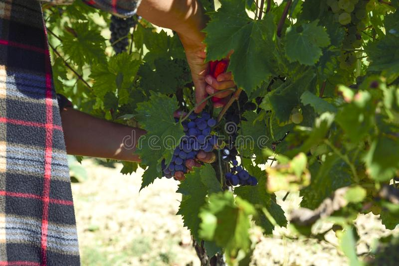 Harvesting of grapes, harvest. close-up of hands cutting the bun stock photography