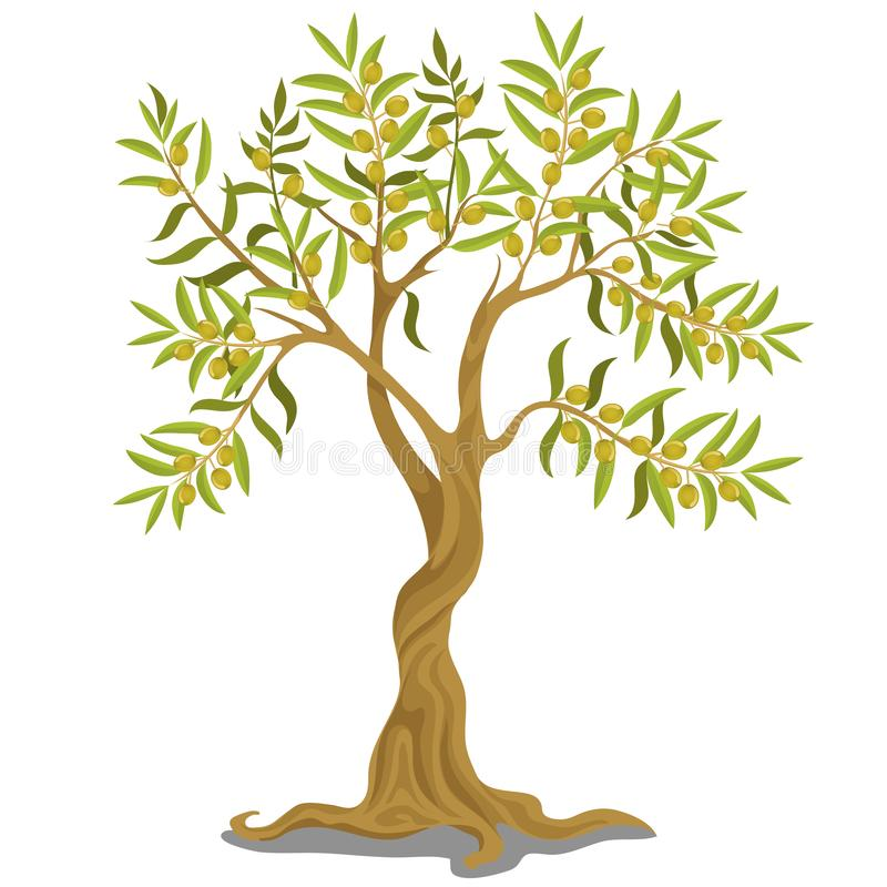 Harvesting greek olive tree with ripe green olives on the branches isolated on white background. Vector cartoon. Illustration close-up stock illustration