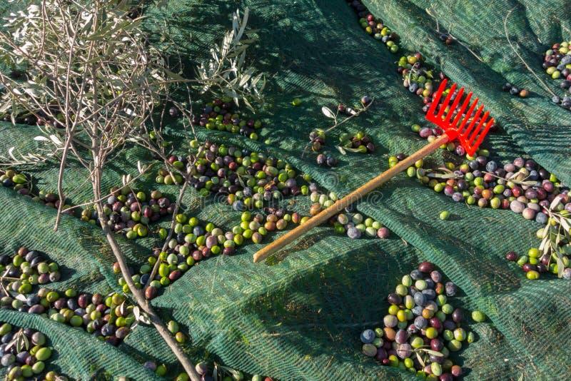 Harvesting olives royalty free stock photos