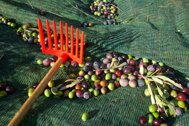 Harvesting olives royalty free stock images