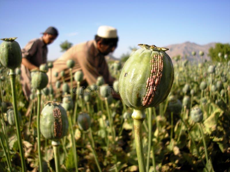 Harvesting Opium, East Afghanistan stock photo