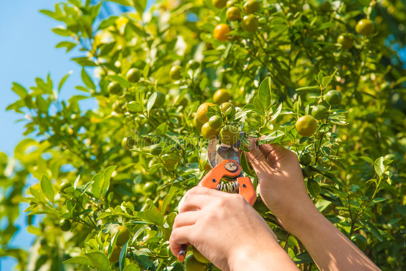 Harvesting orange stock photos