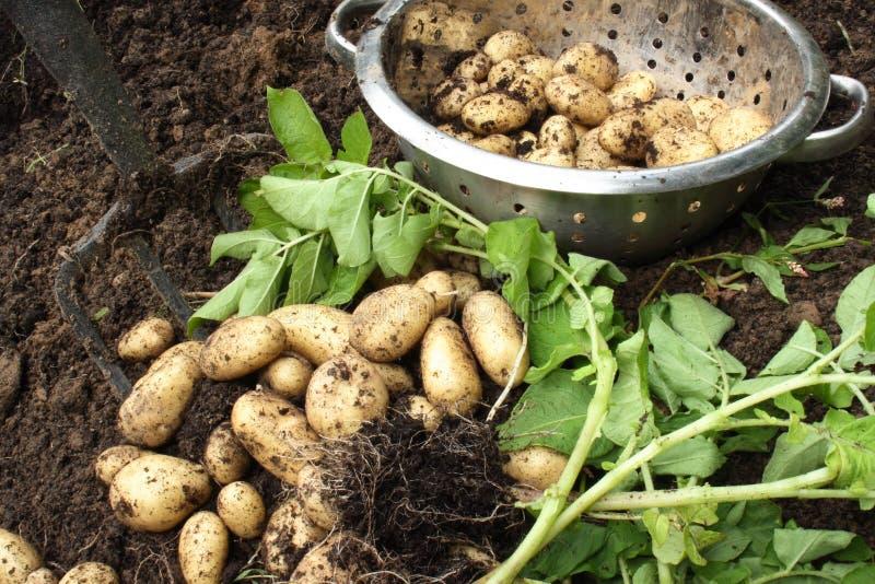 Harvesting organic potatoes stock photos