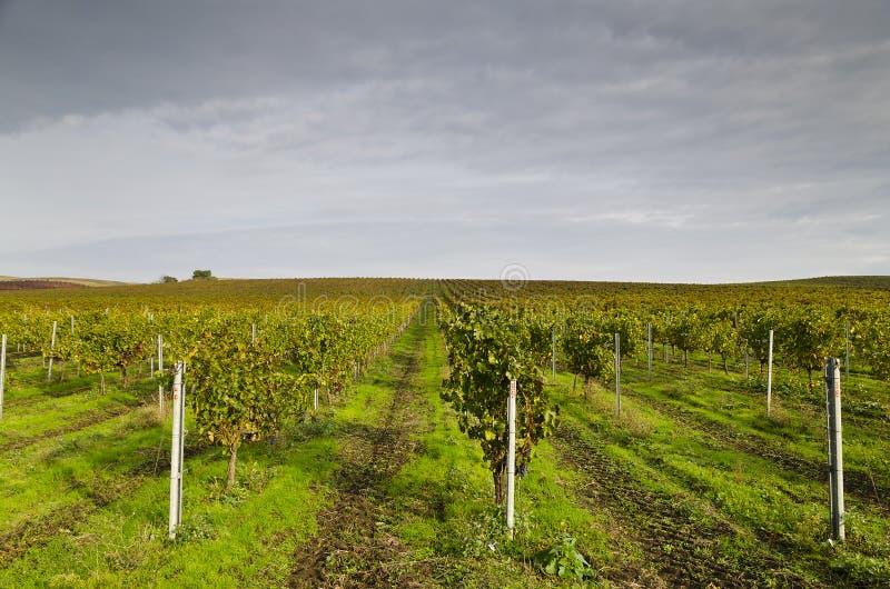 Harvesting period in the vineyard. Karnobat, Bulgaria royalty free stock photo
