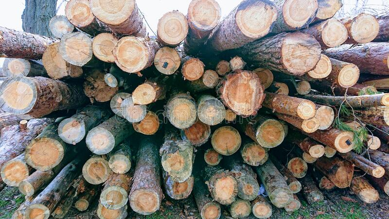 Harvesting a pine forest at a sawmill and sending wood . royalty free stock photo