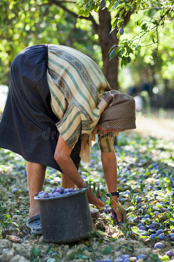 Download Harvesting Plums Stock Photos - Image: 26779323